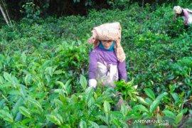 Dua kelompok tani teh dan kopi di Garut raih sertifikat organik dari lembaga internasional