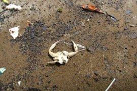 DLH Indramayu bawa sampel ceceran minyak mentah di pantai ke uji laboratorium