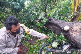 Tertimpa pohon cemara, pelajar SMA 8 Seluma meninggal