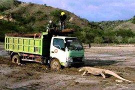 """Ini dia foto viral komodo """"hadang"""" truk di pulau rinca, begini tanggapan DPR RI"""
