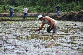 Pemprov Babel kembangkan padi hitam organik