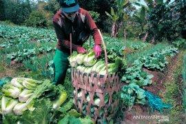 Petani sayuran di Rejang Lebong berharap harga jual kembali normal