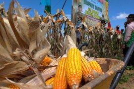 Tapin miliki 1.130 hektare lahan pertanian jagung hibrida