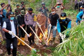 BNN RI musnahkan lima hektar ladang ganja di Aceh Utara