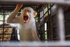 Kera Albino Korban Perdagangan Satwa