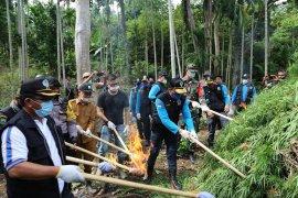 BNN musnahkan lima hektare ladang ganja di Aceh Utara