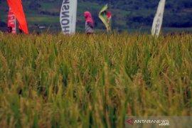 Maksimalkan produksi padi di masa pandemi, Pemkab Purwakarta manfaatkan lahan Perhutani