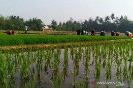 Realisasi tanam padi di Purwakarta pada 2020 melebihi target