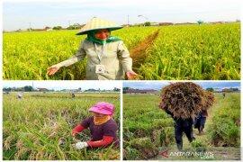 Polbangtan Medan panen padi program kampus mandiri pangan