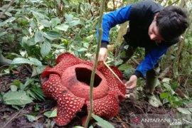 Rafflesia tuan-mudae mekar di Cagar Alam Maninjau Agam
