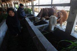 Penampungan ternak warga lereng Merapi