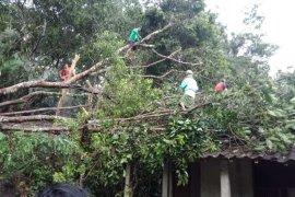 Angin kencang tumbangkan pepohonan di Borobudur
