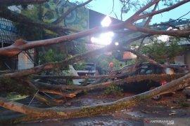 Dua mahasiswa pengendara motor tewas tertimpa pohon tumbang