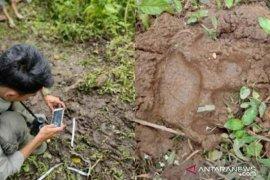 Tiga ekor kambing milik warga Paraman Agam dimangsa satwa liar