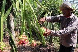 Bertani secara organik, buah Naga Sugito berkualitas super