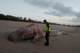 BPSPL Denpasar teliti bangkai paus sperma di Pantai Mengiat (video)