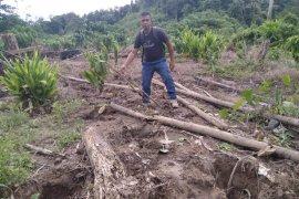 BKSDA Aceh mulai turunkan tim untuk halau gajah liar di perkebunan warga Aceh Jaya