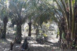 Distan Mukomuko verifikasi data lahan penerima peremajaan sawit