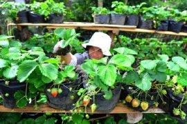 Warga manfaatkan Bantuan Sosial Tunai untuk usaha pertanian