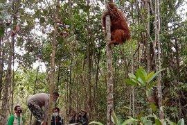 BBKSDA Sumut lepasliarkan orangutan  Tapanuli di Dolok Sipirok