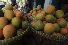 Lalat buah jadi kendala mangga gedong gincu Cirebon tembus pasar Jepang