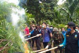 BNN RI musnahkan 30 ribu batang pohon ganja di Aceh Utara