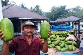 Lupakan sayur mayur, petani Tapsel mulai budidaya pepaya