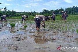 Personel Polsek Pasanea tanam padi bantu warga wujudkan kampung tangguh