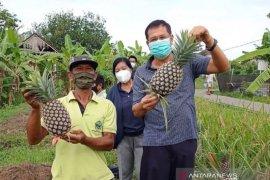 Dinas Pertanian Denpasar budidayakan nanas madu asal Subang