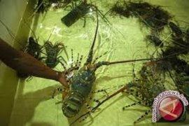 Pengambilan lobster tidak ramah lingkungan dapat merusak terumbu karang