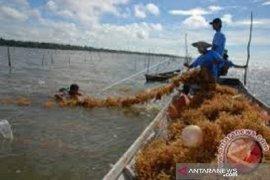 50 ton rumput laut di Bombanda tertunda ekspor