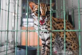 BBKSDA Riau sita musang dan kucing hutan dari tempat hiburan