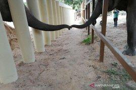 Cher senang gajah  kesepian di Pakistan kini punya teman di Kamboja