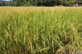 Ditengah pandemi, produksi padi Tanah Datar justru meningkat mencapai 333.077 ton