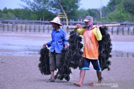 Bantuan Bibit Rumput Laut