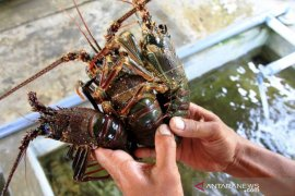 Permintaan Lobster Kualitas Ekspor Page 1 Small