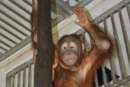 Orangutan dari Malaysia dirawat di Batu Mbelin 14 hari