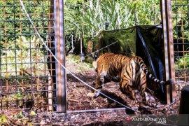 Pelepasliaran Harimau Sumatera Corina Page 1 Small