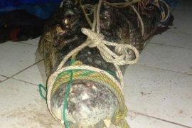 Buaya muara berhasil ditangkap nelayan