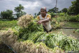 Jakarta Barat bantu petani kelola 45 hektar sawah di dua kecamatan