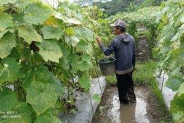 Petani sayur di Lebak raup untung besar di tengah pandemi COVID-19