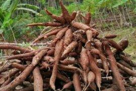 Produksi Ubi Kayu Sultra 260.916 Ton