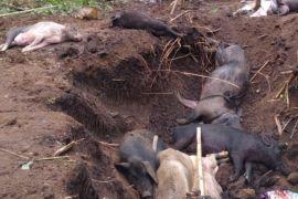 Ratusan ekor ternak babi warga Lembata mati terserang virus ASF