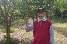 Puluhan wartawan nikmati jeruk di Ladang Ateh Palupuh Agam