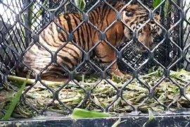 BKSDA Aceh evakuasi anak harimau terjerat