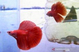 Bisnis Salon Ikan Cupang Hias