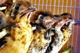 Karantina Surabaya gagalkan masuknya 380 burung ilegal dari Ende, Flores