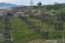 Vegetasi pantai Palu untuk melindungi dari abrasi