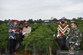 Luar biasa, petani Inhu panen cabe tujuh ton