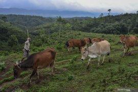 Sapi Pasundan dan impian untuk swasembada daging sapi